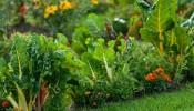 Tự thiết kế vườn rau sạch tại nhà: Lựa chọn của nhiều gia đình ngày nay