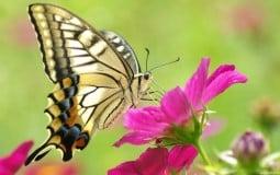 Bươm bướm bay vào nhà tốt hay xấu? là điềm báo gì?